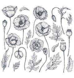 Collection of hand drawn poppy flowers vector