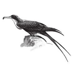 Frigate bird vintage vector