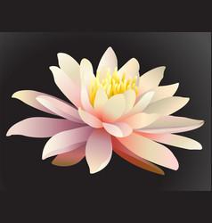 lotus flower on dark background vector image