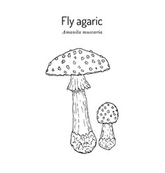 Fly agaric amanita muscaria poisonous vector