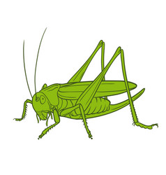 grasshopper of white background graphic vector image