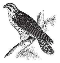 Peregrine falcon vintage vector