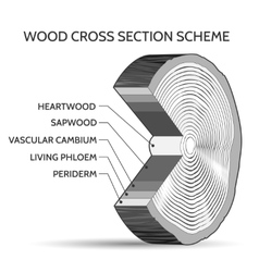 Wood cross section scheme vector image