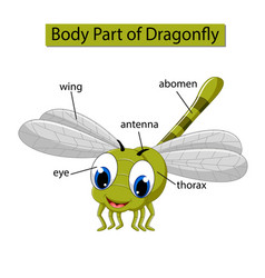 Diagram showing body part dragonfly vector
