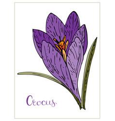 Floral with violet crocus flower vector