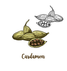 full color sketch of cardamon vector image