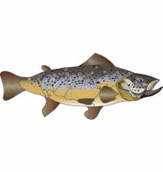 Brown trout vector