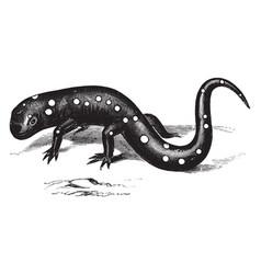 violet colored salamander vintage vector image