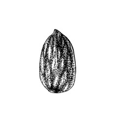 hand drawn almond vector image