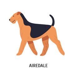 Airedale bingley or waterside terrier beautiful vector