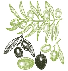 Olives Hand Draw Sketch vector image