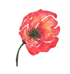 watercolor poppy flower isolated on white vector image