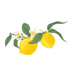 detailed drawing of lemon plant branch with vector image