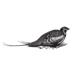 Pallas sand grouse vintage vector