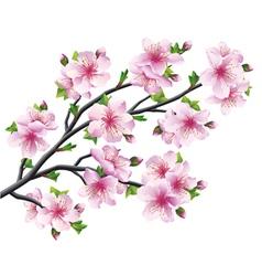 Japanese tree sakura cherry blossom vector