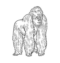 Gorilla animal sketch engraving vector