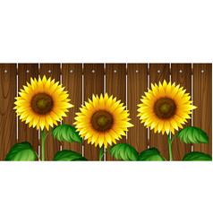 Sunflowers in front of wooden fence vector