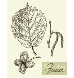 Leaves flowers and fruits of the hazel vector