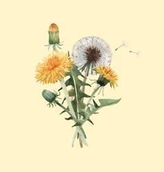 watercolor dandelion blowball vector image