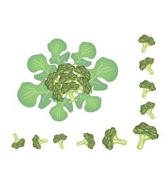 Set of Fresh Green Ripe Broccoli Cabbage vector image vector image
