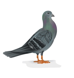 Carrier pigeon breeding bird sports bird vector