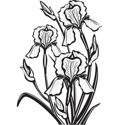sketch of iris flowers vector image