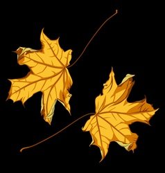 pair of falling down maple leafs on black backgrou vector image