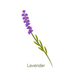 lavender herb and title object vector image