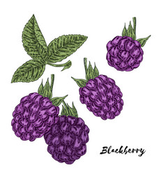 hand drawn color sketch berries ripe blackberry vector image