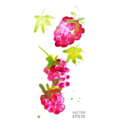 Watercolor raspberry vector