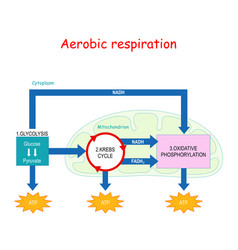 Aerobic respiration and krebs cycle in vector
