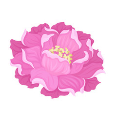 Large peony flower on a white vector