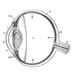 Section of the eyeball vintage vector