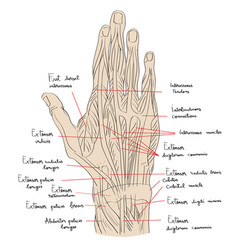Hand dorsal muscles color vector