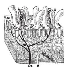 Villi of the intestine vintage vector