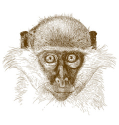 engraving of green monkey muzzle vector image vector image