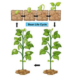 Diagram showing life cycle bean vector