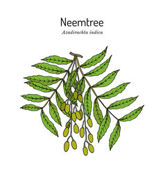 Neem azadirachta indica or indian lilac vector
