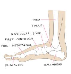 internal lateral view foot bones color vector image vector image