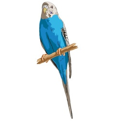 Budgies vector