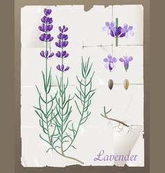 lavender botanical drawing vector image