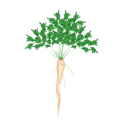 Fresh Green Parsley Root on White Background vector image