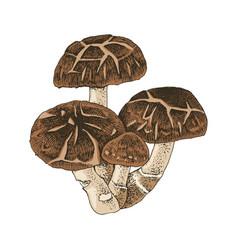 hand drawn shiitake mushroom vector image