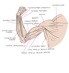 Muscles of the arm color vector
