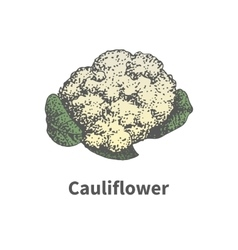 Hand-drawn ripe head of cauliflower vector image