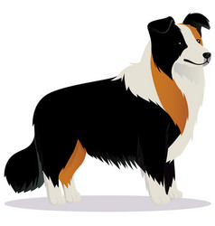 Border collie dog tricolor vector