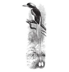 Racquet tailed kingfisher vintage vector