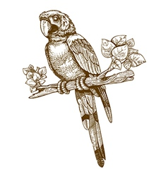 Engraving big parrot vector