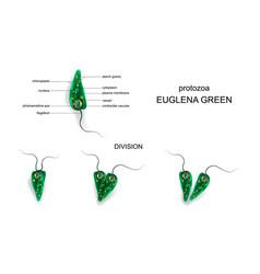 green euglena protozoa vector image