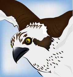 Hawk close up vector